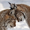sharpest_asp: two lynxes butting heads, side shot (General: Lynx Love)