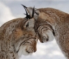 rhi: Two lynxes nuzzling foreheads and being ridiculously adorable (cats)