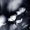 gwinna: (flowers - silver)