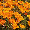 codyne: California poppies (poppies)