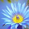 codyne: blue lotus (blue lotus)