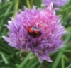 cryptolect: Ladybird on chive flower (pic#532111)