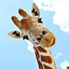 miss_slipslop: (giraffe)