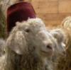 devohoneybee: (sheep with fez)