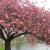 kate: a cherry blossom tree (tree: cherry blossom)