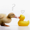 muusu: (Ducks)