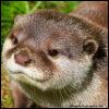 jackandahat: A brown otter, no text. (Plain Otter)