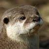 jackandahat: An otter's face (Otter face)