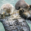 jackandahat: Two otters holding hands (Hand-holding otters)
