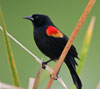 schemingreader: red-winged blackbird on a rush (red-winged blackbird)