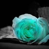 tria_cube: blue rose (bluerose)