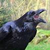 twistedchick: (raven)