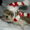 kate: a hedgehog with a santa cap and candy cane scarf (holiday: Christmas hedgie)