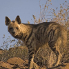 death_gone_mad: Single striped hyena in an arid deserty place (hyena desert)