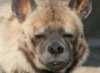 death_gone_mad: Single striped hyena stare (Yandu:Stare)