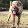 death_gone_mad: Striped hyena shows its teeth (Yandu with teeth)