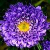 wenelda: (Flowers - aster)