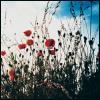 wenelda: (Flowers - poppies)