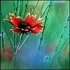 wenelda: (Flowers - red)