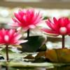 fujiko: (lotus)