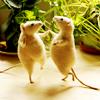 fujiko: (dancing mice)
