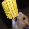 glitter_bug: My hamster (hamster)