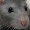 velm: (крыс)