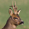 shimmerhawk: (roe deer icon)