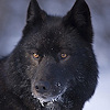 shimmerhawk: (black wolf icon)