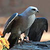 shimmerhawk: (mississippi kite icon)