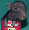 piglet: fuzzy black-haired, pink-skinned, smiling piglet poking head & trotters out of a VanCamp's pork and beans can. (pork)