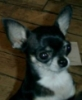 piglet: tri-color Chihuahua, headshot against wood floor (karma)