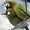 queenlua: A pair of yellow birds cuddling. (Mejiro (Japanese White-Eyes): Cuddling)