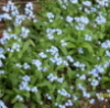 brin_bellway: forget-me-not flowers (Default)