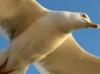polare_di_ross: (gull)