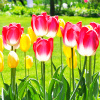 indeliblesasha: Bright highlighter-pink tulips with yellow tulips in the background surrounded by bright green foliage (Default)