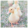 lizcommotion: a line of ducklings walking towards the viewer (duckling line)