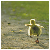 lizcommotion: a single duckling running away from the viewer (duckling running)