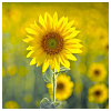 lizcommotion: sunflower in a field (sunflower)