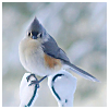 lizcommotion: tufted titmouse on a branch in the snow (bird tufted titmouse)