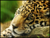 j_i_v_o_tinka: (леопард)