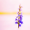 anaraine: A stalk of purple wolfsbane which appears to be growing out of the ice in a skating rink. ([teen wolf] wolfsbane)