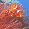 rhoda: (clownfish)