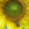 good_to_grow: sunflower-w-bee (bumblebee)