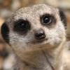 sunnysomerain: (transspecies!meerkat)