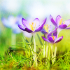 digitaldesigner: (Stock • Purple Flowers)