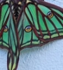 forest_choir: (luna moth)