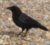 mcmurphy79: (crow)