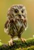 strixluna: small owl (owl)