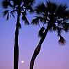 bluesafyrefla: (Blue palms)